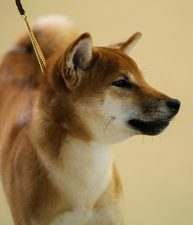 #1 Shiba Inu in the US in 2014