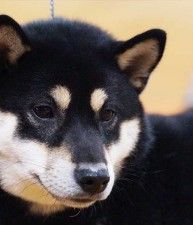 #4 Shiba in the US in 2014