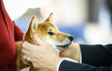Sire – Champion. 2014 #3 Shiba in the US. Japanese Import.