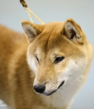 #3 Shiba in the US in 2014