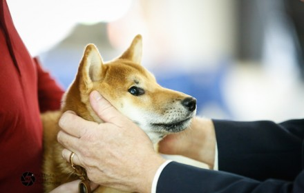 Sire – Champion. 2014 #3 Shiba in US. Japanese Import.